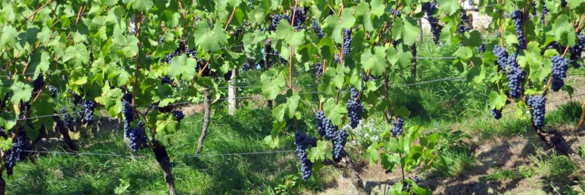 Vinice modrá